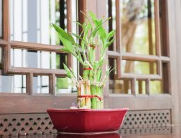 Vastu tips for keeping bamboo plant at home